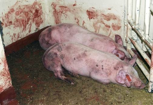 非洲豬瘟發病時,豬隻出現血痢狀況