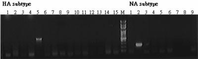 PCR法鑑定病毒亞型